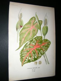Step 1897 Antique Botanical Print. Caladium Bicolor